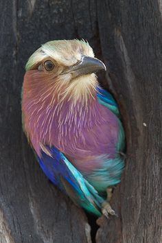 imagine waking up in these colors every day!   Lilac Breasted Roller - ©Thomas Retterath (Wild Dogger) www.flickr.com/photos/tomsfries/5228900029/