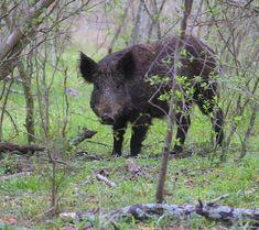 A Beginner's Guide to Hunting Feral Hogs – Foundry Outdoors Hog Hunting, Hunting Tips, Ground Blinds, Deer Tracks, Wildlife Biologist, Senior Communities, Texas Parks, Harris County, State Forest