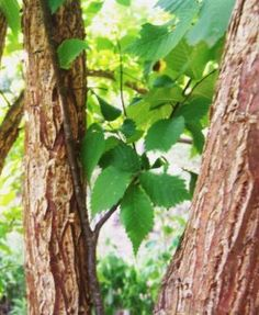 Slippery elm not only relieves heartburn and gastritis, but it has nutrients and minerals to build our bodys immunity! Healing Herbs, Medicinal Plants, Natural Healing, Health Heal, Health And Nutrition, Health And Wellness, Herbal Remedies, Home Remedies, Natural Remedies