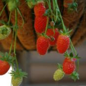 """The hill and matted strawberry planting row system are the two most common methods, while growing strawberries in """"jars"""" and hanging baskets works well for gardeners with limited space."""