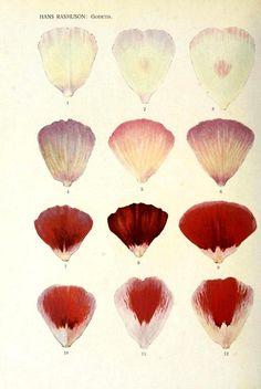 Hans Rasmuson's studies of flower petal inheritance patterns in Godetia, 1920.