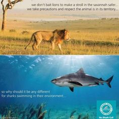 Stop culling sharks. It's stupid, unnecessary and mean if you want to know more about why this must stop you should watch the 'No Shark Cull' documentary by Sea Shepherd Gold Coast #nosharkcull #zenvala