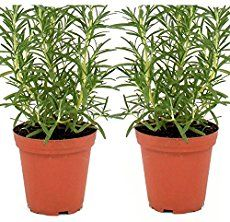 Rosemary plant, a fragrant, delicious excellent herb to grow, potted or in the garden. Easy to grow, once established, will thrive problem free for years.