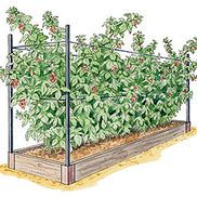 Raspberry Trellis  I would have never thought to do this with berry plants. Should help with harvesting through all the thorns.