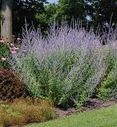 Russian Sage (Perovskia atriplicifolia)  Judith Phillips recommends 'Filigran' has very lacy foliage but seems less robust than the species.  'Blue Spire' is more upright with larger flower spikes.