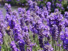 The Lavender Connection - Nice little lavender farm in Sequim, WA.  Extra bonus - 1 free bouquet with Military I.D.