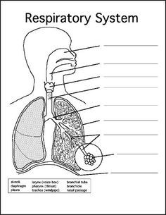 This is a way to organize notes about the functions of the organs in the respiratory system. Organs included are: nose pharynx larynx trachea bronchi lung bronchioles alveoli and diaphragm. Science Worksheets, Worksheets For Kids, Science Activities, Coloring Worksheets, Science For Kids, Life Science, Science And Nature, Science Classroom, Science Education