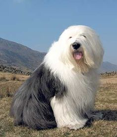 Big fluffball old english sheepdogs