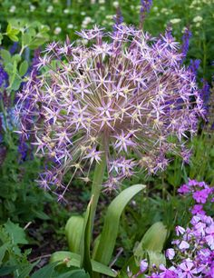 """What spring garden would be complete without the unique Allium plant? These gorgeous flower heads are not called a """"star"""" for nothing! The lavish pale amethyst-violet flowers are edges with silver highlights that are sure to light up your garden in the late spring and early summer. The <strong>8-12"""" spherical blooms </strong>dry perfectly and add great winter interest or additions to dried floral bouquets. Dominating the show, the Star of Persia All..."""