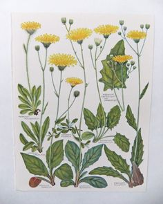 Botanical Drawings - two vintage flower illustrations - old botanical prints of Hieracium flowers in yellows