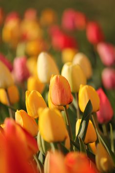 Tulips! Love this color combo.