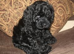 black cockapoos   Black cockapoo puppy