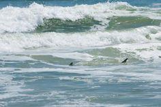 Sharks in New Smyrna Beach, FL #surfing