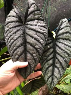 How For Making Your Landscape Search Excellent Alocasia Nebula Ornamental Plants, Foliage Plants, Exotic Plants, Tropical Plants, Begonia, Planting Succulents, Planting Flowers, Trees To Plant, Plant Leaves