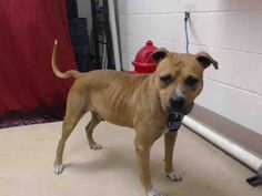 12/01/15-HOUSTON - -EXTREMELY HIGH KILL FACILITY  -   This DOG - ID#A448241  I am a male, red and white Pit Bull Terrier mix.  My age is unknown.  I have been at the shelter since Dec 01, 2015.  This information was refreshed 5 minutes ago and may not represent all of the animals at the Harris County Public Health and Environmental Services.