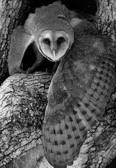 The Barn Owl, Tyto alba, can be spotted in Gunnison County. Locally severe declines from organochlorine (e.g., DDT) poisoning in the mid-20th century and rodenticides in the late 20th century have affected some populations.