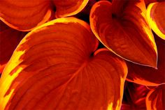 Red Hostas | Red Hosta - Pixalo Photo Gallery