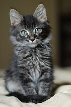 baby maine coon