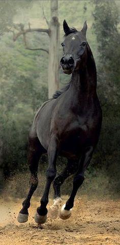 #Black #Horse #Running