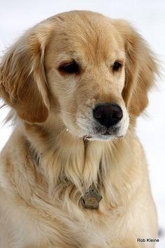 Animals and pets Beautiful Dogs, Animals Beautiful, Cute Animals, Chien Golden Retriever, Golden Retrievers, Pet Dogs, Dog Cat, Labrador Puppies, Corgi Puppies