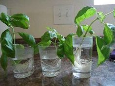 You can plant more basil from your leftover store-bought cuttings.