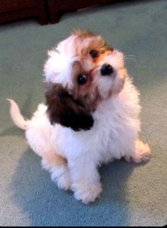 Another Cavachon from Gleneden Farms, Berryville, VA Adorable! Good for people… Another Cavachon from Gleneden Farms, Berryville, VA Adorable! Good for people with allergies. Animals And Pets, Baby Animals, Funny Animals, Cute Animals, Puppies And Kitties, Cute Puppies, Cute Dogs, Doggies, Cavachon Puppies