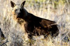 Photo of a Brown Hyaena