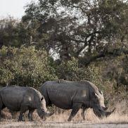 Tracking Instincts   krazywithtravel African Wild. Sabi Sand. Kruger National Park. Rhinoceros. Save the Rhinos
