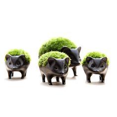 Japanese bonsai plant hedgehog 苔盆栽 子はりねずみ