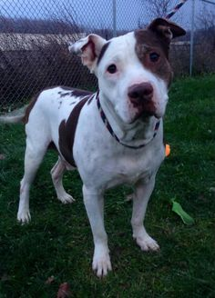 """OHIO URGENT! LOVABLE GUY """"PATRICK"""" (Sweetheart) needs a loving home! Please stop by & meet this wonderful fellow soon! LORAIN County Dog Kennel ELYRIA, OHIO...  https://www.petfinder.com/petdetail/30923642/"""
