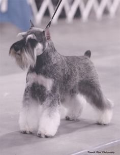 Schnauzer Reminds me of Dexter. - Dog Breeds for Apartments Schnauzers, Standard Schnauzer, Miniature Schnauzer Puppies, Schnauzer Puppy, Miniature Dogs, Schnauzer Grooming, Dog Grooming, Baby Puppies, Dogs And Puppies