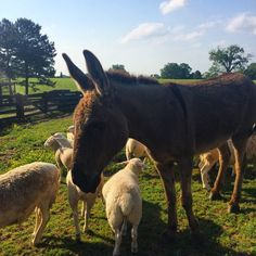 """Meet Moose, the babysitter/donkey in charge of protecting the sheep at Moss Mountain Farm from coyotes. We've been told this guy's the smartest animal on the property. @pallensmith #livestock #arkansas #farmfriends #predatorsbeware @monicamwillis."" Courtesy: Modern Farmer, Hudson, NY (USA)"