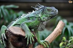 https://fuzfeed.com/lets-celebrate-national-iguana-awareness-day/