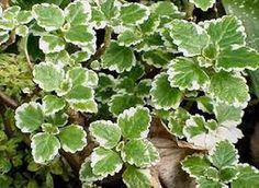 II▻✚✚✚ El cultivo del incienso en casa o en el exterior. La planta del incienso. Consejos para su cuidado. Riego, clima, abonado, sustratos y suelos.