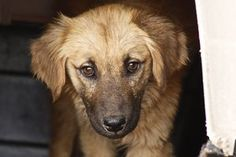 Dorothy is an adoptable Golden Retriever Dog in Statesboro, GA. Blanche - Dorothy - Rose have been caught and surrendered to us semi-feral. DOB approx. 10.15.12  The Golden Girls arrived 3.10.13 All g...