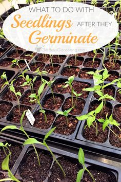 - How To Care For Seedlings: The Ultimate Guide Wondering how to care for seedlings after they sprout? This post will show you exactly what to do with seedlings once they start growing indoors. Growing Seedlings, Tomato Seedlings, When To Transplant Seedlings, Starting Plants From Seeds, Starting Seeds Indoors, Hydroponic Farming, Hydroponic Growing, Diy Hydroponics, Organic Vegetables