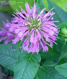 Full size picture of Bee Balm, Beebalm, Bergamot, Firecracker Plant, Horsemint, Mountain Mint, Oswego Tea 'Grand Parade' (<i>Monarda didyma</i>)