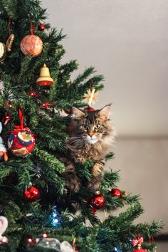 Main coon is a christmas cat!