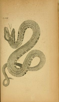 Coluber vipera. Icones amphibiorum Hafniae :C. Steen,1835. Biodiversitylibrary. Biodivlibrary. BHL. Biodiversity Heritage Library