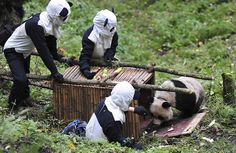 Researchers wait for giant panda Taotao to get into a cage, in Wolong National Nature Reserve, Sichuan province. Panda Costumes, Dump A Day, Jolie Photo, Nature Reserve, Best Funny Pictures, Funny Pics, Funny Quotes, Cubs, Mammals
