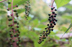 inkberry - ようしゅやまごぼう