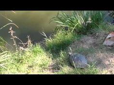 Epic Turtle Jump - Wait for it...