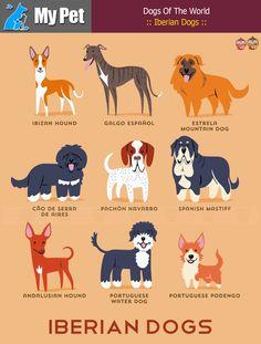 :: Iberian Dogs :: From SPAIN and PORTUGAL. SPAIN: Ibizan Hound, Galgo Espanol (Spanish Greyhound), Estrela Mountain Dog, Pachon Navarro, Spanish Mastiff, Andalusian Hound. PORTUGAL: Portuguese Water Dog, Portuguese Podengo, Cao De Serra De Aires (Portuguese Sheepdog). #MrbigninkPage #KunLhingJingleBell — กับ KunLhing Jingle Bell
