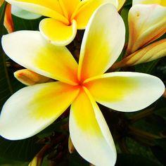 Yellow Frangipani #Flowers #macro #photography #pinterest #nature #square