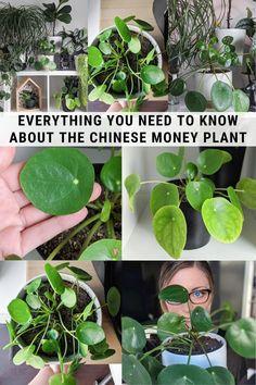 Inside Plants, Cool Plants, Hanging Plants, Indoor Plants, Indoor Herbs, Indoor Gardening, Air Plants, Cactus Plants, Money Plant Care