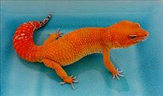 """Jason"" SHTCTB Designer Geckos"