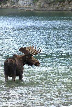 Moose, Canada