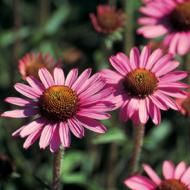 Pixie Meadowbrite Coneflower  ( Has many blooms at one time )