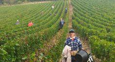 07/10/13. CHAMPAGNE. Depuis le 30 septembre, les vingt travailleurs de l'établissement et services d'aide par le travail (Esat) Champagne des Pep 10 (association départementale des pupilles de l'enseignement public), encadrés par leurs quatre moniteurs d'atelier, vendangent chez leurs clients habituels aux alentours des Riceys. LIRE SUR http://www.lest-eclair.fr/economie/les-riceys-l-esat-champagne-participe-aux-vendanges-ia33b0n122603?xtor=RSS-2