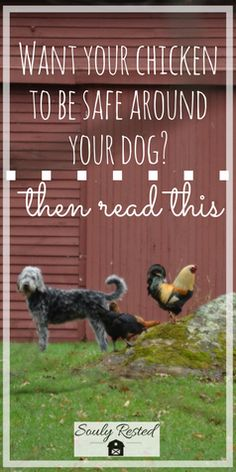 Train your dog to be around your free-ranging chicken | dog training | free-range chicken | farm life | farm problems homesteading | homeschooling | living simple | soulyrested.com